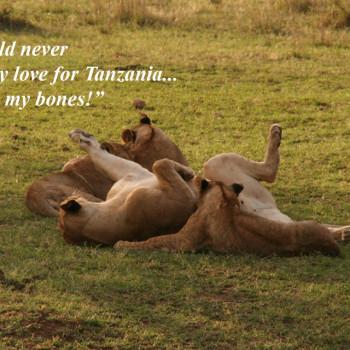 Lion Playing