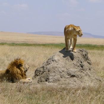 Lions, Wildebeest and Flamingo